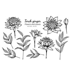 collection set of torch ginger flower and leaves vector image