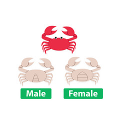 Difference between male and female crabs vector