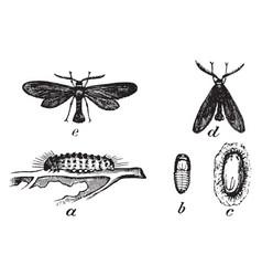 Acoloithus vintage vector