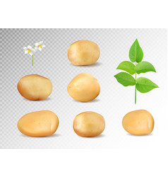 Realistic potatoes set potatoes with leaf vector