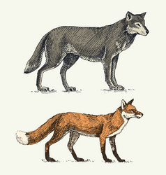 wild grey wolf and red fox engraved hand drawn vector image