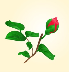 Flower Camellia Japonica Bud of vector