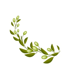 Fresh Green Olives on A Branch on White Background vector image vector image