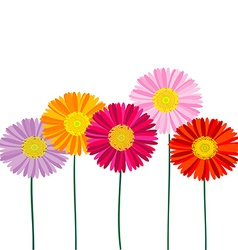 Gerber Daisy isolated on white background vector image