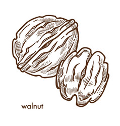 Healthy delicious walnut in hard shell and peeled vector