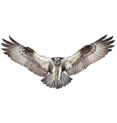 Osprey hawk winged landing vector