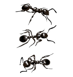 Black ants Isolated on white background vector image vector image