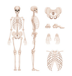 Human skeleton in different vector
