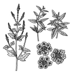 Hand drawn set of verbena flowers leaves and vector