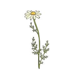 Drawing chamomile vector