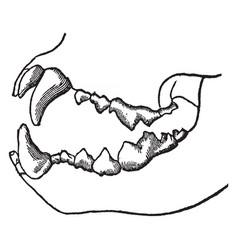 Teeth a carnivorous animal vintage vector