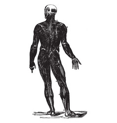 Back view of the muscles of the body vintage vector