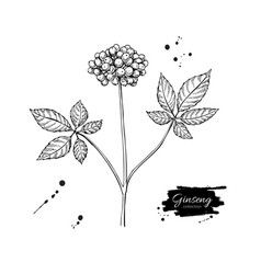 Ginseng berry drawing medical plant sketch vector