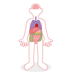 people internal organs vector image