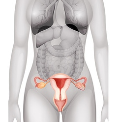 Female genitals in human body vector
