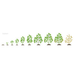 Growth stages soybean plant soya bean phases vector