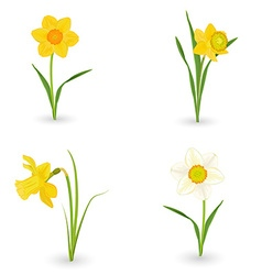 collection lovely daffodils spring flowers for vector image vector image