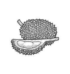 Durian fruit sketch vector