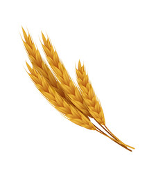 Realistic wheat ears with grains yellow rye vector