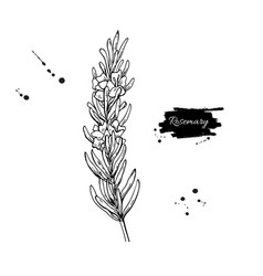 Rosemary drawing hand drawn blooming herb vector