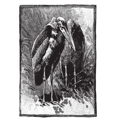 Greater adjutant stork vintage engraving vector