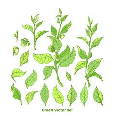 Set nature branch leaves flower green tea bush vector