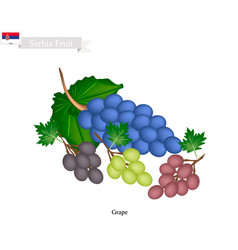 Ripe grape a popular fruit in serbia vector