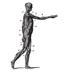 Side view of the muscles of the body vintage vector