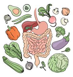 Gastrointestinal tract vegan nutrition illu vector