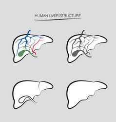 Human liver structure internal organ anatomy vector