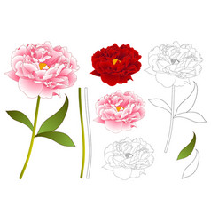 Pink and red peony flower outline vector