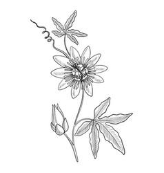Drawing passiflora vector
