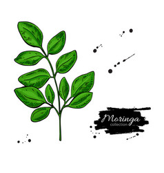 Moringa leaves superfood branch drawin vector