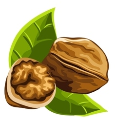 Solid brown strong delicious ripe walnut vector