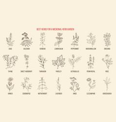 Best herbs for a medicinal garden vector