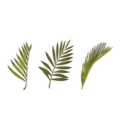 coconut palm leaves natural floral objects vector image