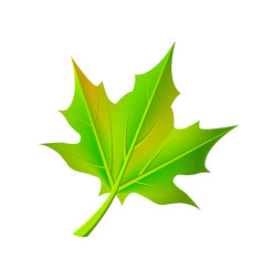 Green autumn leaf fallen from maple tree vector