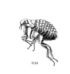 hand drawn flea vector image