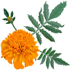 Orange marigold flower Tagetes vector