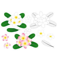 plumeria outline vector image