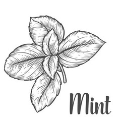 Mint Herb vector image vector image