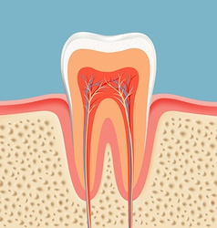 Human tooth in a cut vector