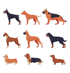 purebred dogs collection doberman american vector image