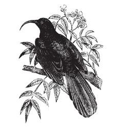 Namaqua bee eater vintage vector