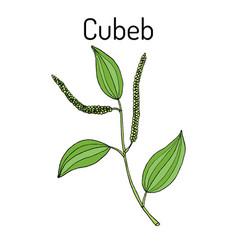Java pepper piper cubeba or cubeb medicinal vector