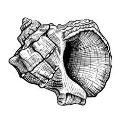 seashell handdrawn sketch vector image
