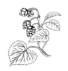 Doodle hops plant black outline vector