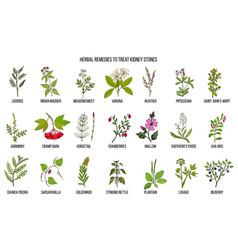 best herbs for kidney stone disease vector image