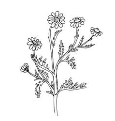 doodle chamomile medicinal plant black outline vector image