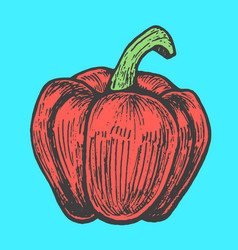 hand drawn of red pepper sketch style doodle vector image vector image